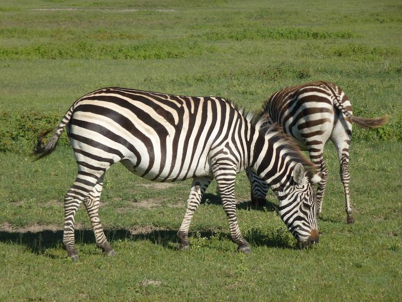 24 Zebras - Ngorongoro Tansania 2014 416