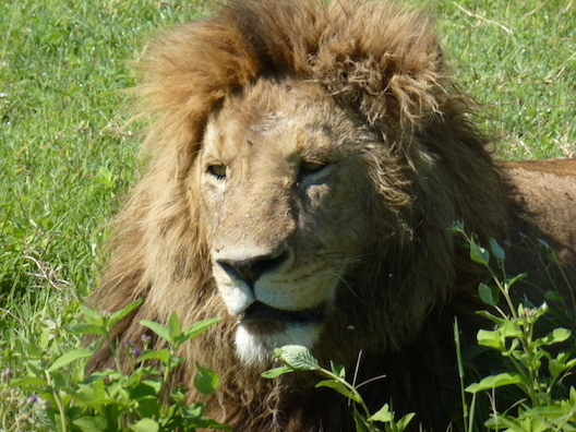 25 Löwe - Ngorongoro Tansania 2014 455