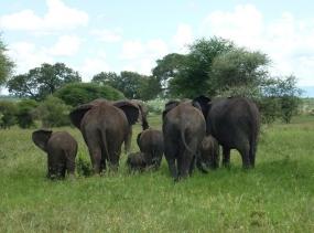 19 Elefanten - Tarangire Tansania 2014 140