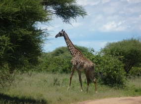 21 Giraffe - Lake Manyara - Tansania 2014 333
